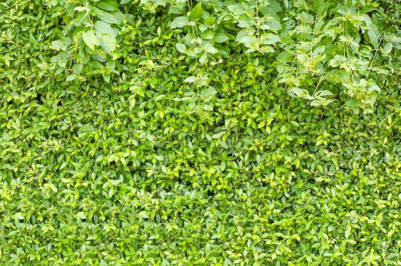 Parede aparada da cerca do arbusto no parque fotografia de stock