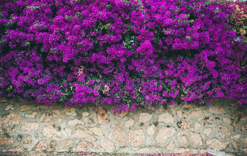 Parede coberta com a buganvília roxa foto de stock royalty free