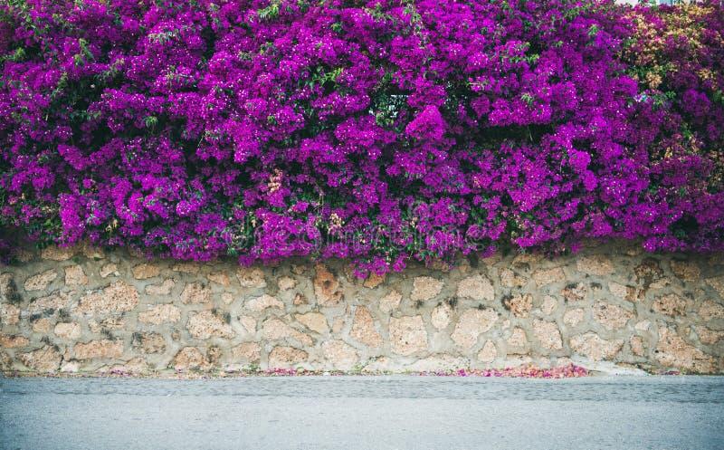Parede coberta com a buganvília roxa imagens de stock royalty free