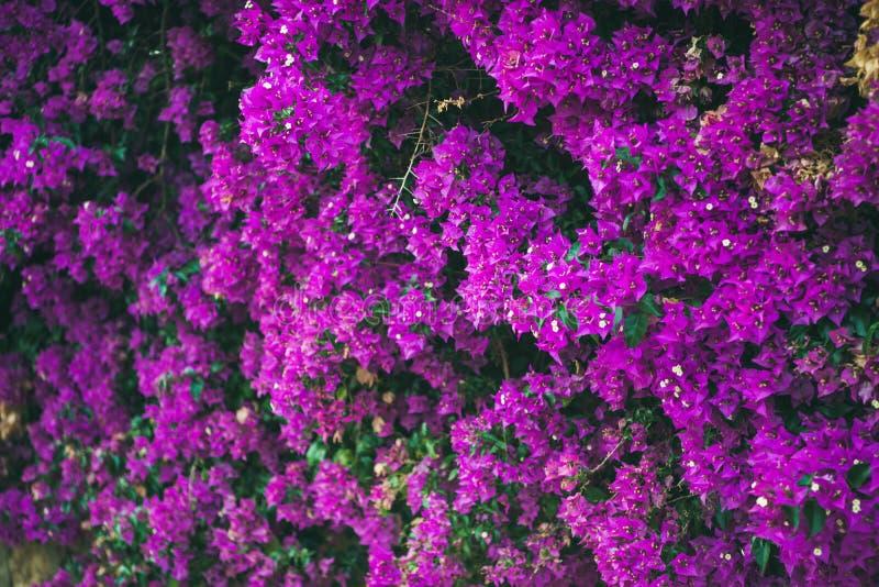 Parede coberta com a buganvília roxa fotografia de stock