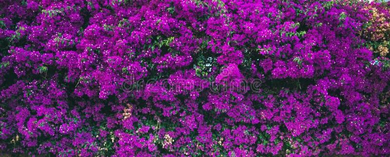 Parede coberta com a buganvília roxa fotos de stock royalty free