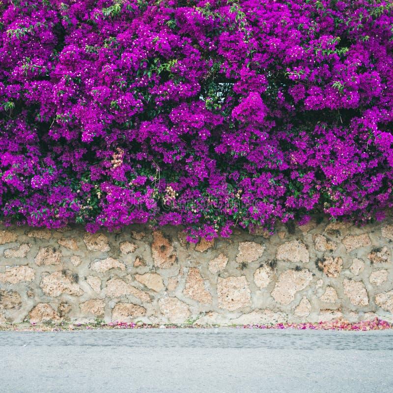 Parede coberta com a buganvília roxa fotografia de stock royalty free
