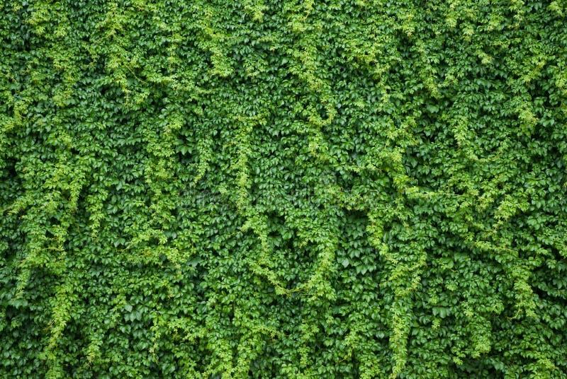 Parede com as folhas verdes da hera