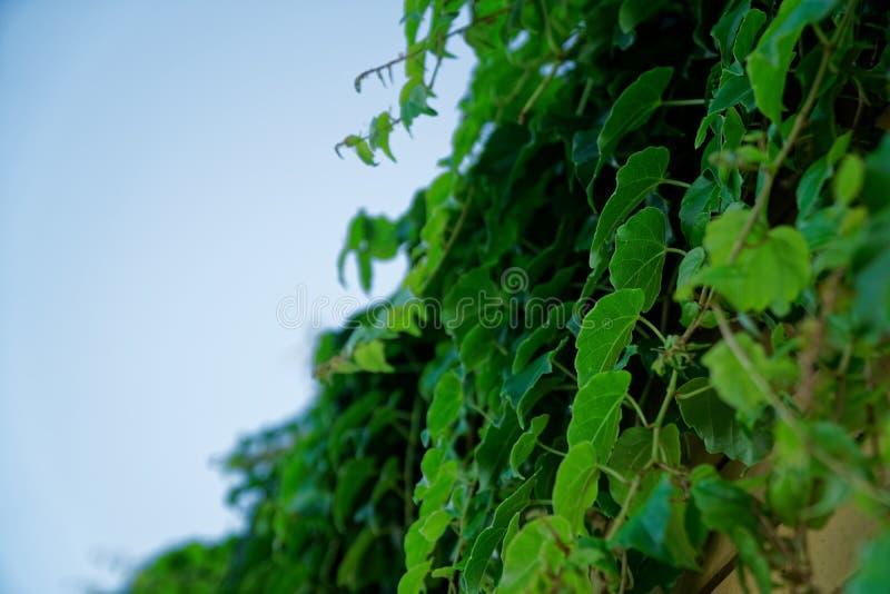 Parede da grama verde da mola ou cerca fresca da erva, úteis para o fundo do desiign ou a textura fotos de stock royalty free