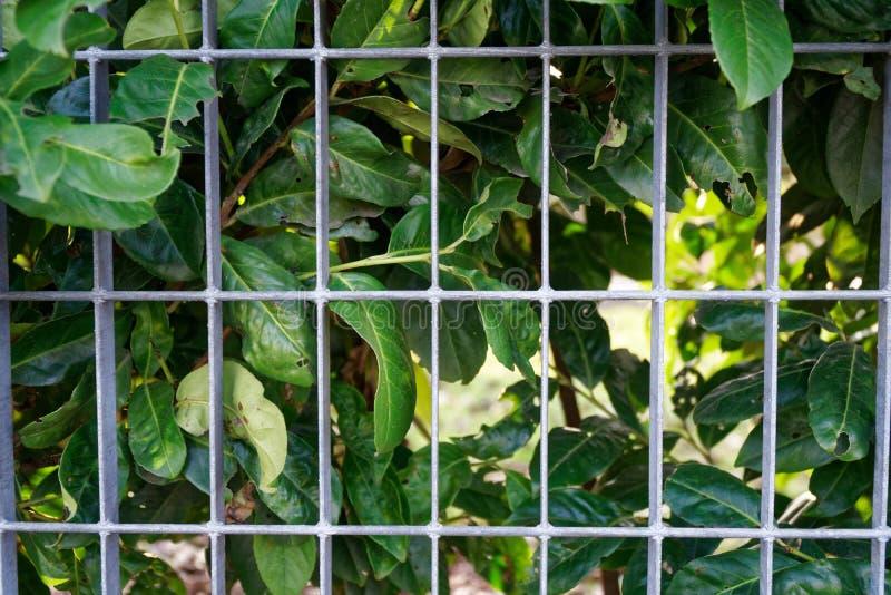 Parede da grama verde da mola ou cerca fresca da erva com fundo de aço da grade imagem de stock