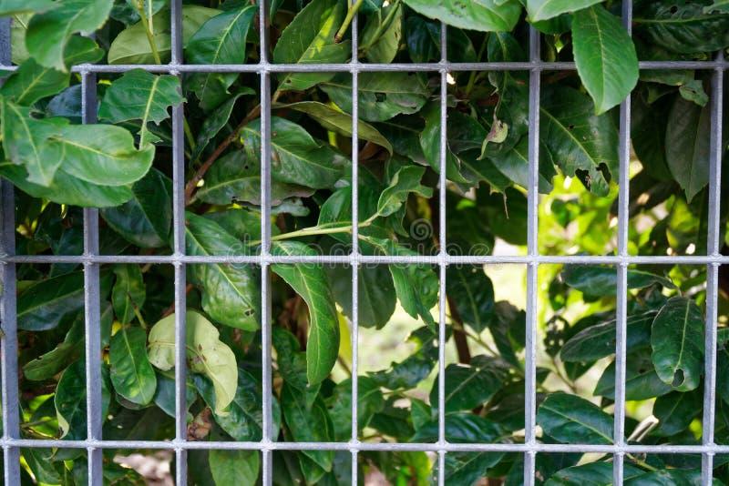 Parede da grama verde da mola ou cerca fresca da erva com fundo de aço da grade fotos de stock royalty free