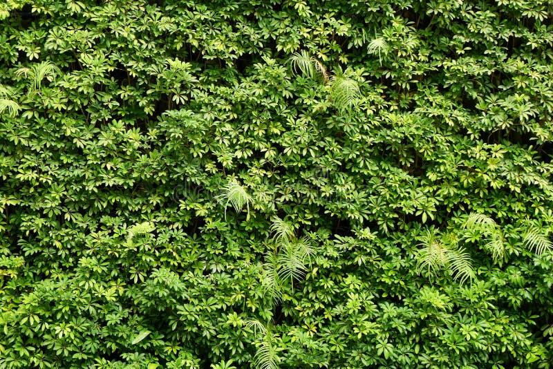 Parede das plantas ou fundo verde da textura da parede das folhas foto de stock royalty free