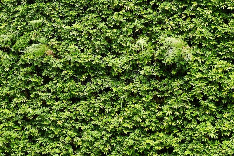 Parede das plantas ou fundo verde da textura da parede das folhas imagem de stock royalty free