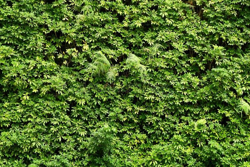 Parede das plantas ou fundo verde da textura da parede das folhas fotografia de stock royalty free