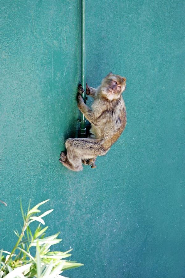 Parede de escalada do macaco em Gibraltar imagem de stock royalty free