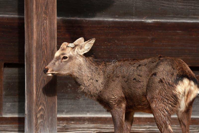 Parede de madeira da posição e do fundo dos cervos em Nara, Japão fotografia de stock