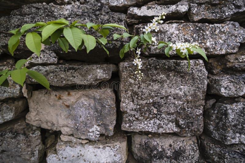 Parede de pedra de uma fortaleza velha e de um ramo de um padus de florescência do Prunus da pássaro-cereja, em um dia de mola wa fotos de stock