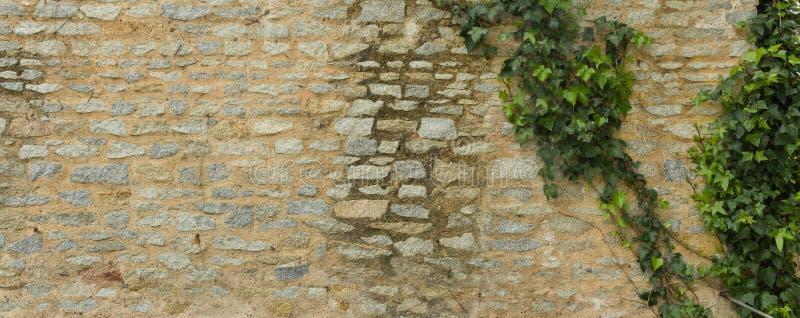 Parede de pedra velha com planta da trepadeira fotos de stock