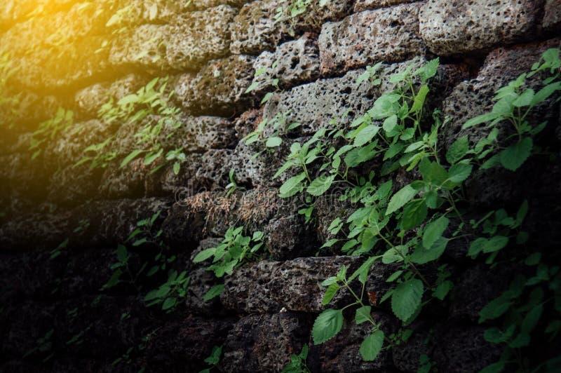 A parede de tijolo antiga com antiguidade tem árvores do rebento ao longo do wal fotos de stock royalty free