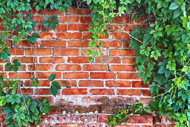 Parede de tijolo coberto de vegetação com a hera fotos de stock royalty free
