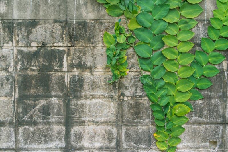 Parede de tijolo suja envelhecida com a escalada enorme verde das folhas decorada imagem de stock royalty free