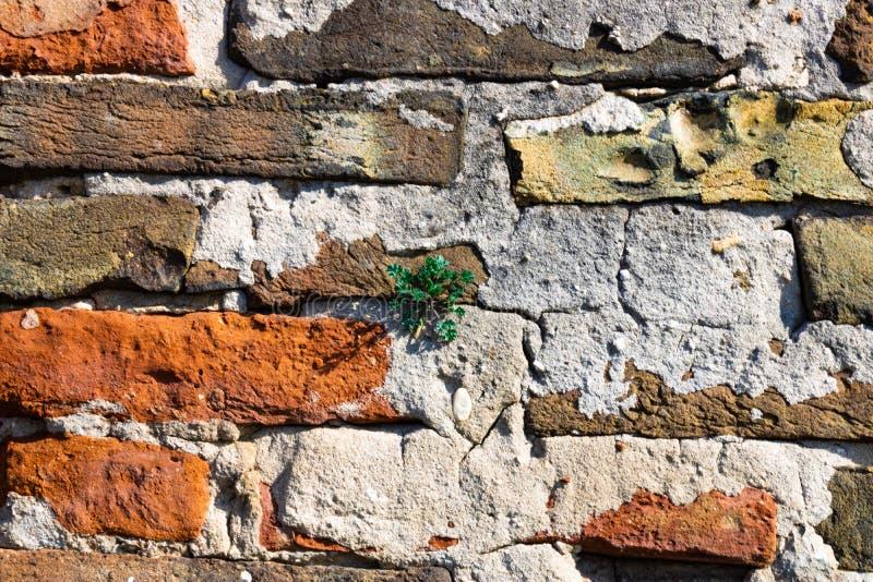 Parede de tijolo velha com a planta que cresce fora dela - a imagem imagens de stock