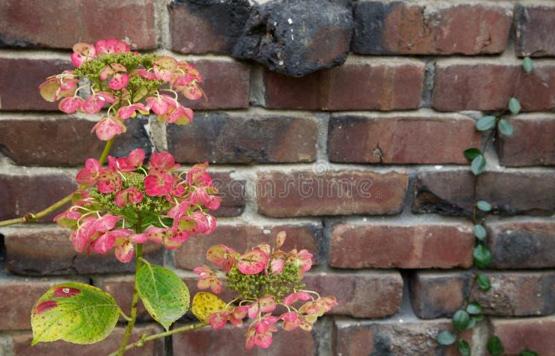 Parede de tijolo verde vermelha do Hydrangea fotos de stock royalty free
