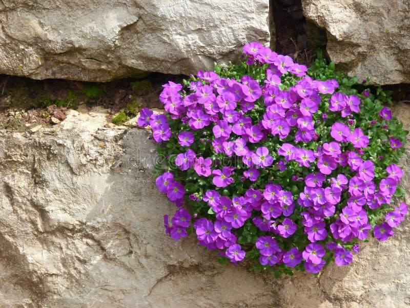 Parede do jardim de blocos naturais amarelos da pedra com flores azuis imagens de stock