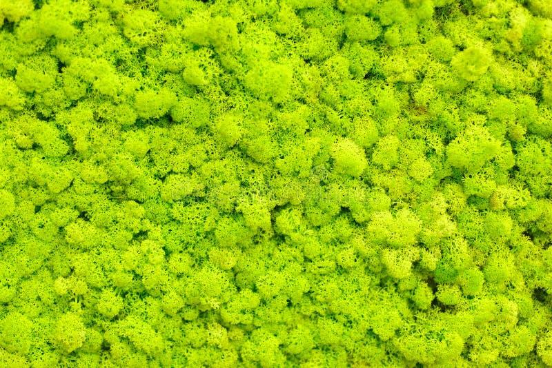 Parede do musgo de rena, decoração verde da parede feita do líquene de rena imagens de stock