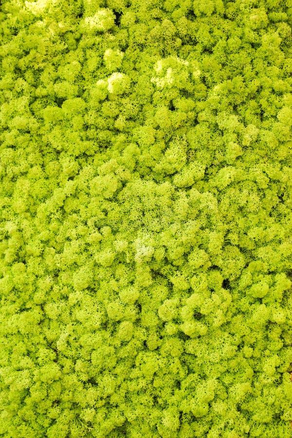Parede do musgo de rena, decora??o verde da parede feita do rangiferina do Cladonia do l?quene de rena, ?til para a zombaria inte foto de stock