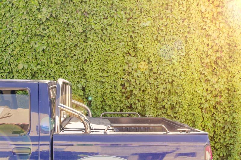 A parede grande da textura da hera do jardim com parte traseira de camionete carro e a lente do sol alargam-se imagens de stock royalty free