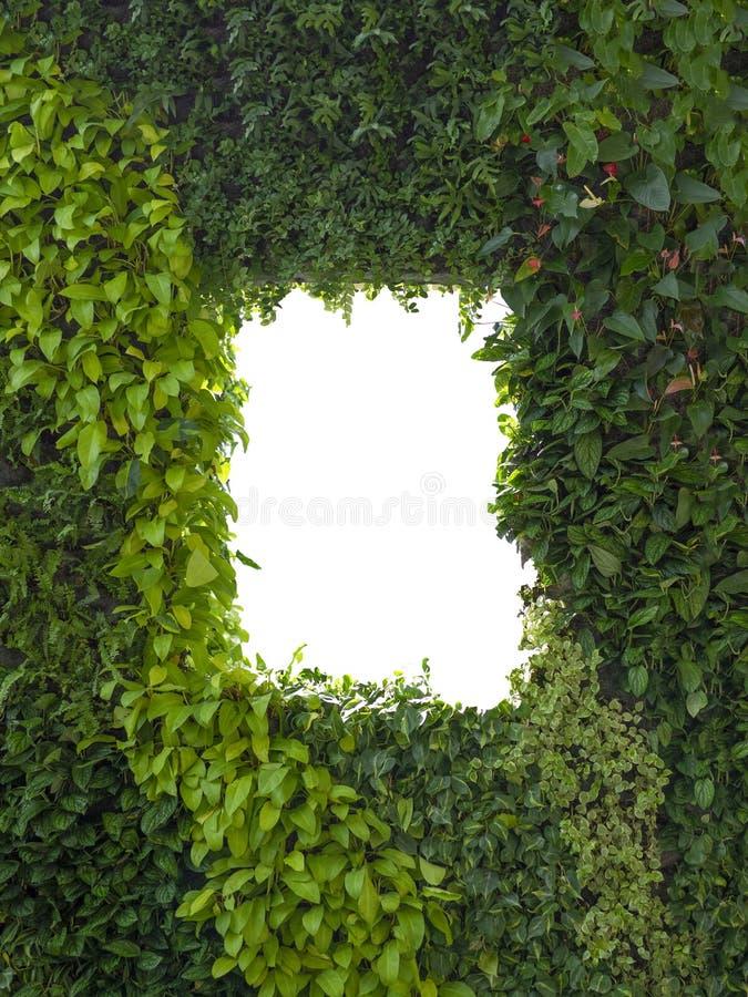 Parede verde abstrata da folha ou das folhas e janela isolada branca, espaço da cópia foto de stock royalty free