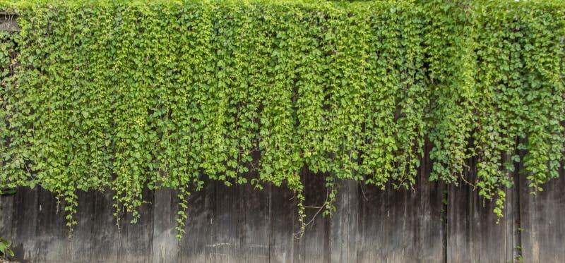 Parede verde natural das plantas de videira da hera do dossel de madeira imagem de stock royalty free
