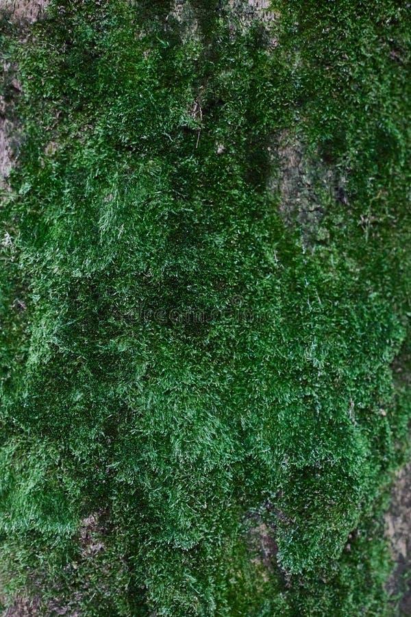 A parede vertical do musgo verde do close-up fotos de stock