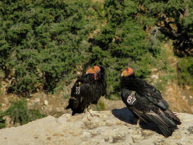 Pareja de cóndores de California en peligro de extinción con transmisores de radio sentados en una arista en el Parque Nacional  imagen de archivo libre de regalías