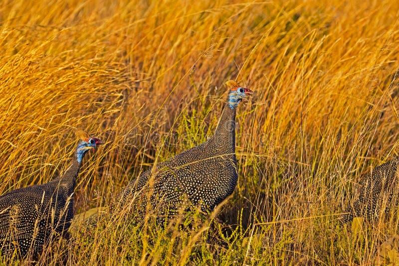 Parelhoen twee in lang gras stock afbeeldingen