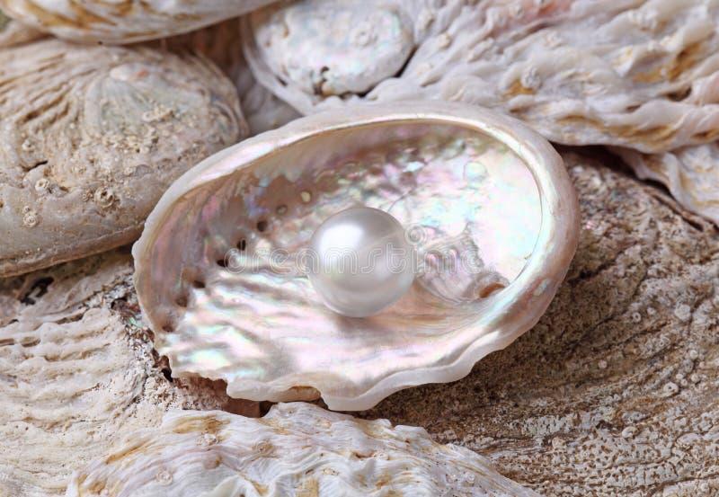Parels in shell stock afbeeldingen