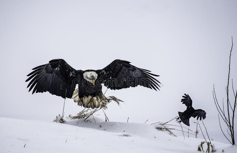 Parent bald eagle teaching the baby eagle to fly in a snowy area - a parental love concept royalty free stock photo