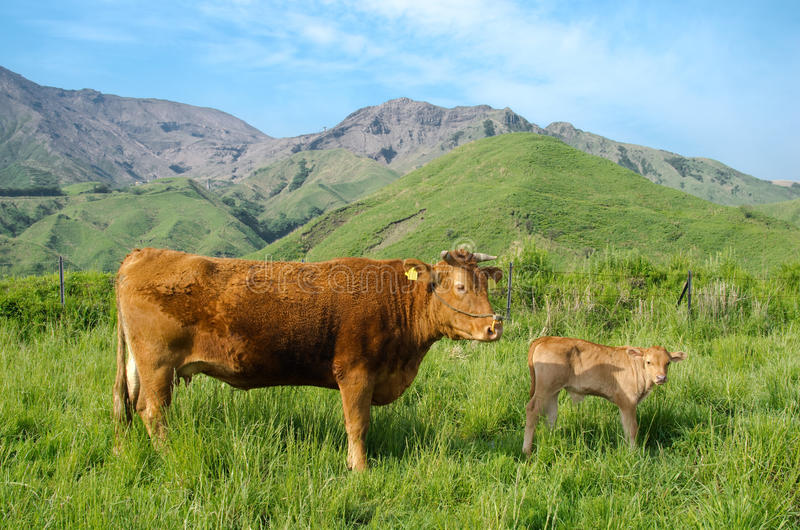 Parent and child of the cow