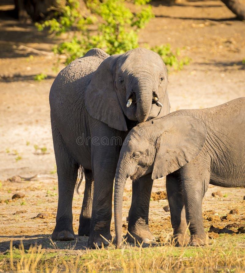 Download Parent D'éléphant Avec Le Veau Image stock - Image du national, stationnement: 77155153