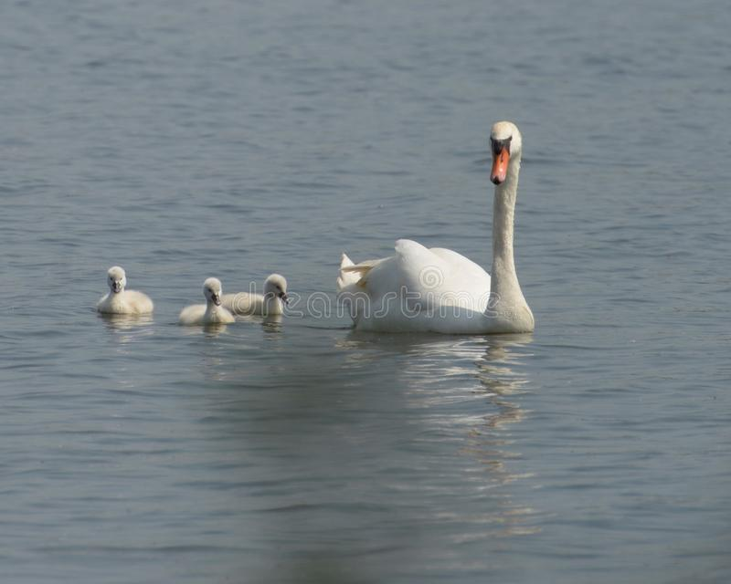 Parent swane with babes on the lake swimming after mother swane. Baby swan`s at spring in lake d`archies Belgium, white swan protecting baby swane`s stock photography