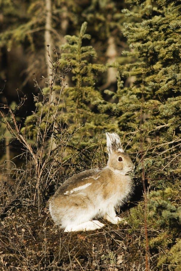 Parente selvagem do coelho - lebre do showshoe foto de stock royalty free