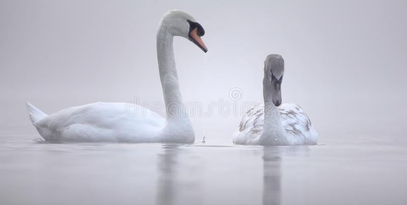 Parenting - cisnes fotos de stock