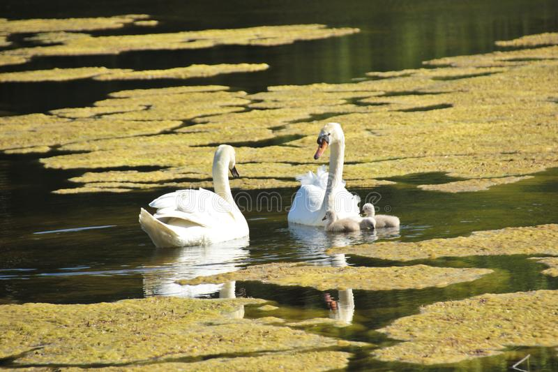 HSmall young swan children explore the area. The parents are careful that nothing happens stock photography