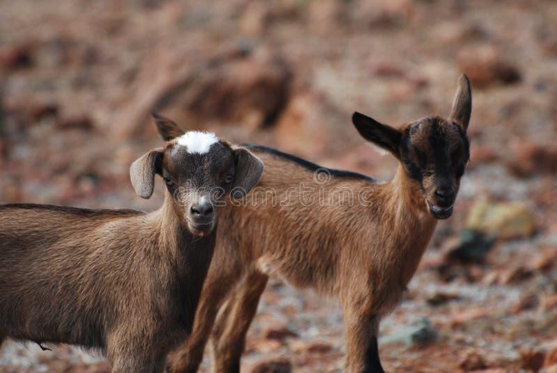 Pares absolutamente bonitos de duas cabras do bebê imagens de stock