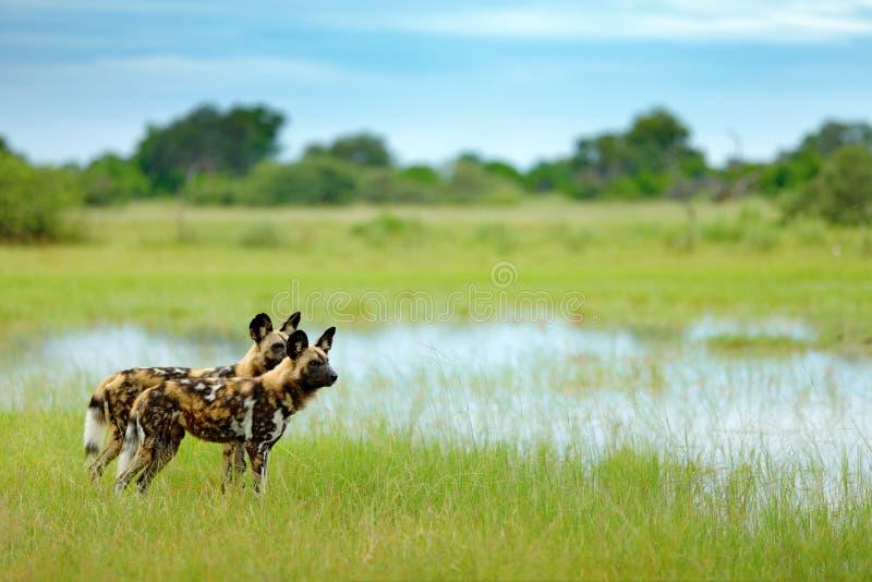 Pares africanos dos pares de cães selvagens, andando na água no imagem de stock