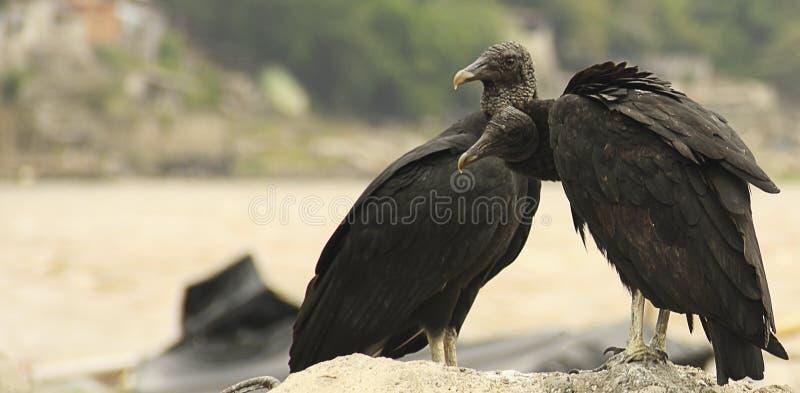 Pares americanos do abutre preto fotos de stock royalty free