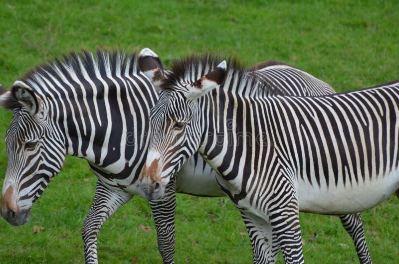 Pares andando de esquipado de zebras que andam junto em um campo imagem de stock