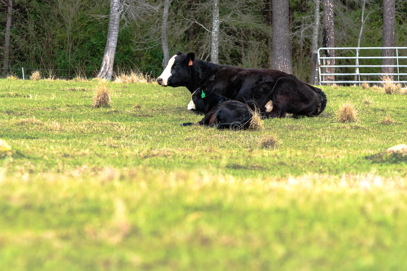 Pares baldy pretos da vaca-vitela com primeiro plano vazio imagens de stock royalty free