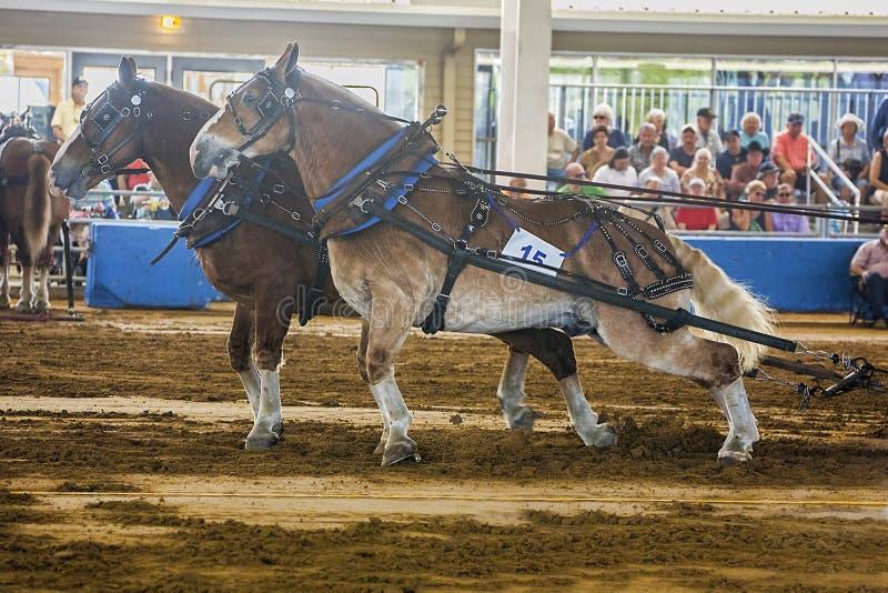 Pares belgas del proyecto de caballos de proyecto en una competencia del tirón del caballo en Tampa, la Florida fotos de archivo