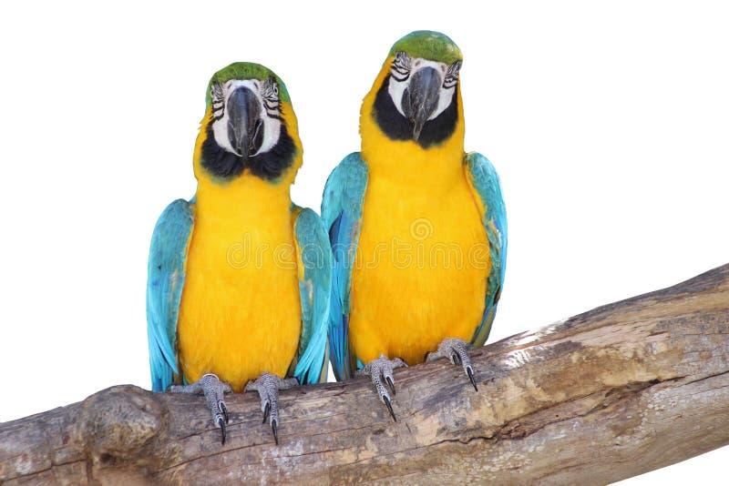 Pares bonitos - azuis e araras amarelas isoladas no branco fotografia de stock royalty free