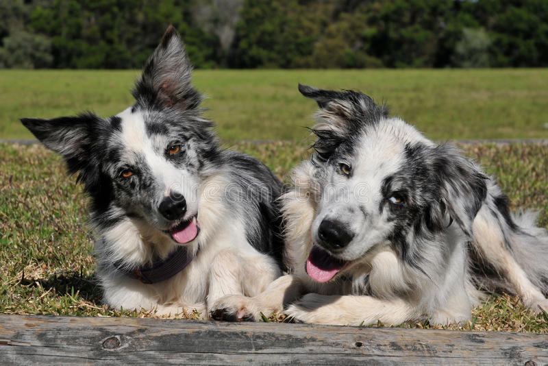 Pares bonitos de cães imagem de stock