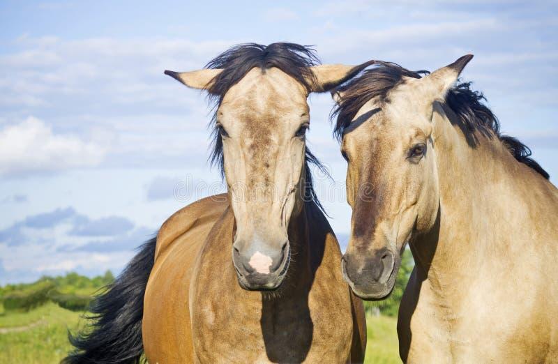 Pares bonitos de cavalos fotografia de stock