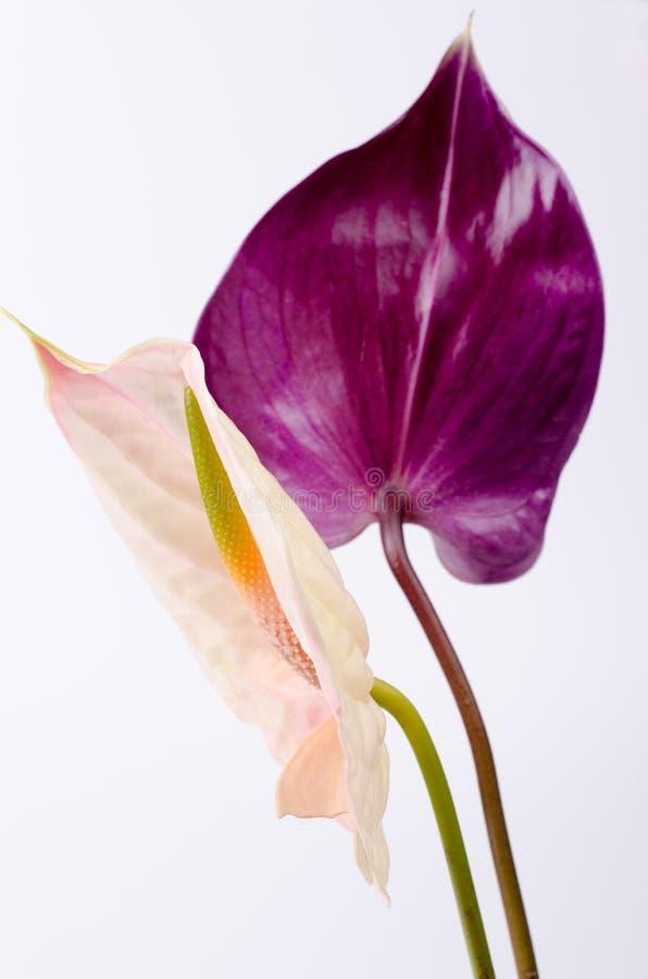 Pares bonitos de flores roxas e cor-de-rosa do ant?rio Fundo de Minimalistic fotos de stock royalty free