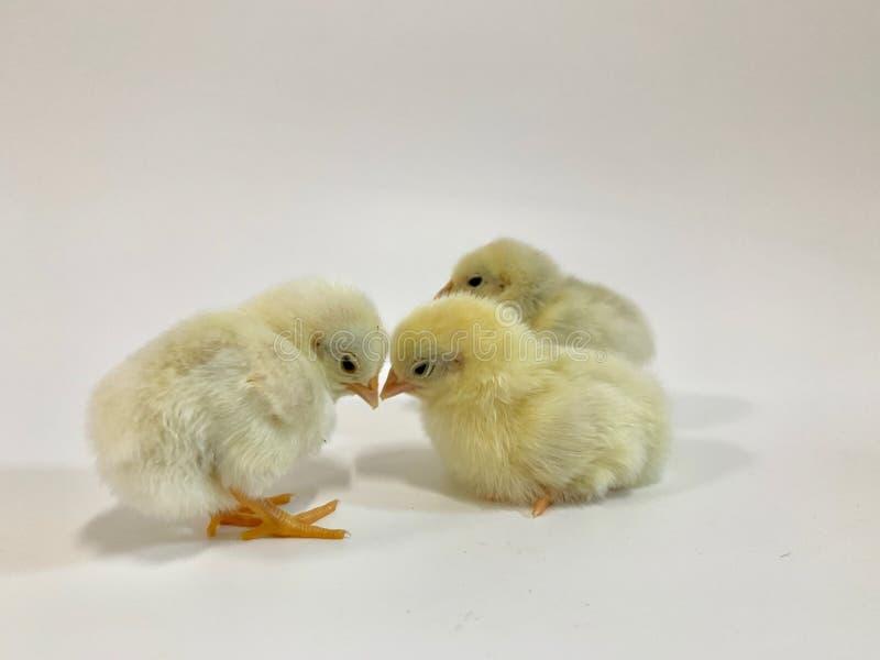 Pares bonitos de galinhas que enfrentam suas testas Há um pintainho na parte traseira isolada no fundo branco imagem de stock